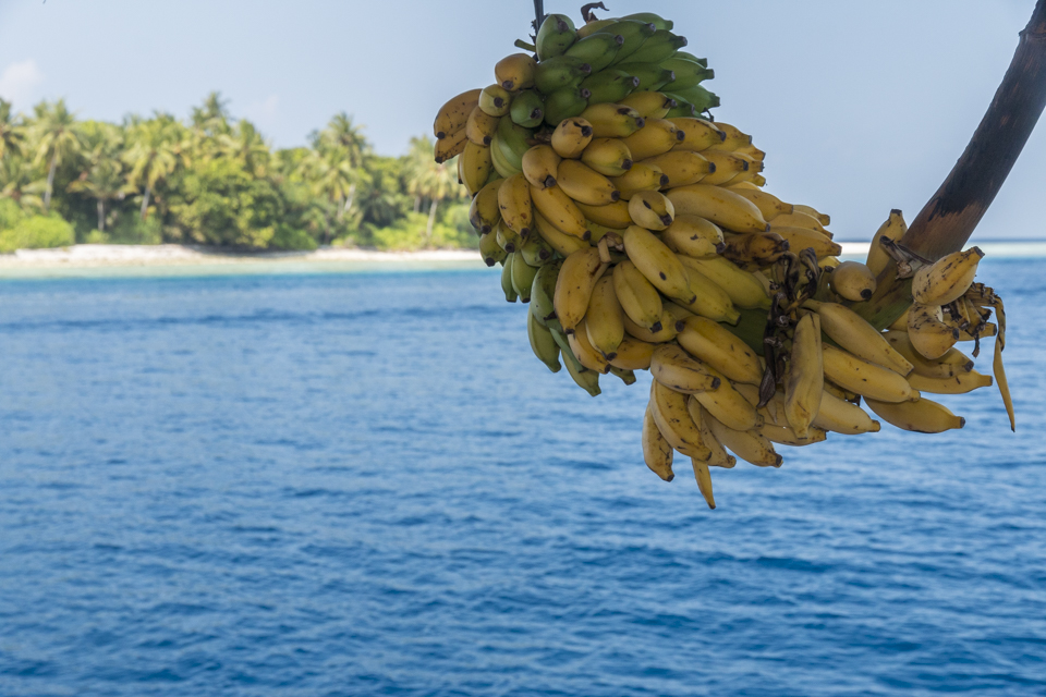 Bananas are ripen